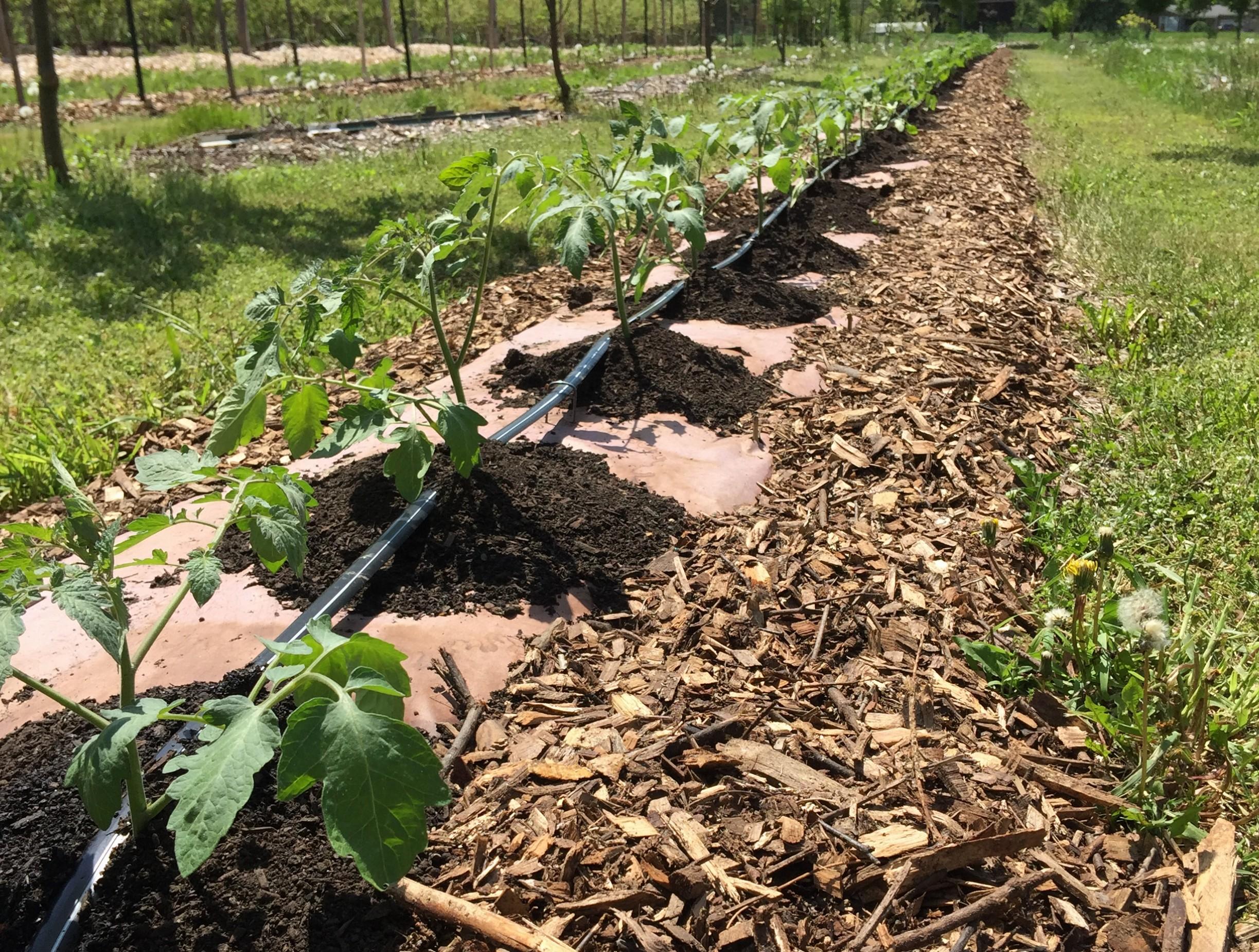 organic tomato farming